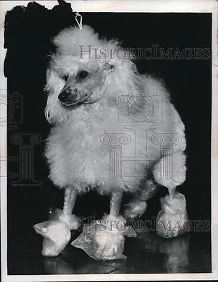 1957 Press Photo Poodle in plastic boots at International Show in London