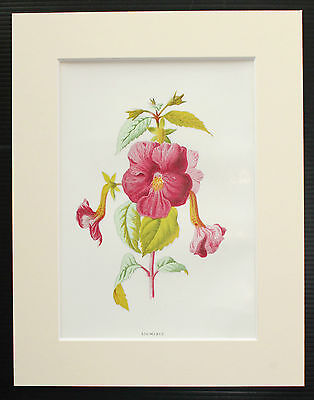 Achimenes - Mounted Antique Botanical Flower Print 1880s by Hulme