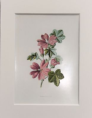 Pink Mallow - Mounted Antique Botanical Flower Print 1880s by Hulme