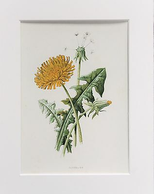 Yellow Dandelion - Mounted Antique Botanical Wild Flower Print 1880s by Hulme