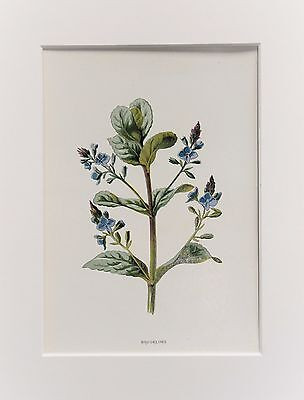 Blue Brooklime - Mounted Antique Botanical Flower Print 1880s by Hulme