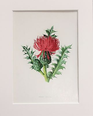 Dwarf Thistle - Mounted Antique Botanical Wild Flower Print 1880s by Hulme