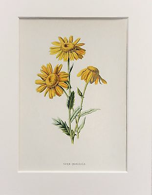 Yellow Corn Marigold - Mounted Antique Botanical Flower Print 1880s by Hulme