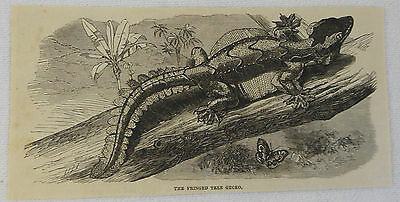 1877 magazine engraving ~ THE FRINGED TREE GECKO