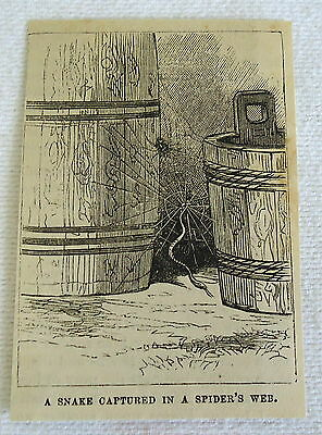 small 1882 magazine engraving ~ SNAKE CAPTURED IN SPIDER'S WEB