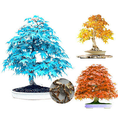 Plants Seed Maple Red Purplr Blue Yellow Leaves Potted Plants Mini Tree