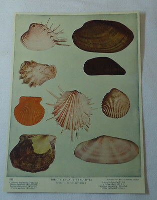 1913 print~ THE OYSTER AND ITS RELATIVES found Panama, FL, Bahamas & US
