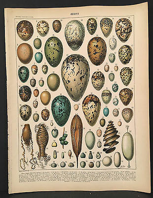 1898 France French OEUFS Eggs, Colored Lithograph Page Nouveau Larousse Illustré