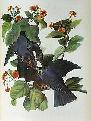 ANTIQUE 1937 AUDUBON PRINT - No.177 WHITE CROWNED PIGEON - FREE SHIPPING