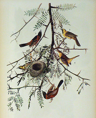 ANTIQUE 1937 AUDUBON PRINT - No. 42 ORCHARD ORIOLE - FREE SHIPPING