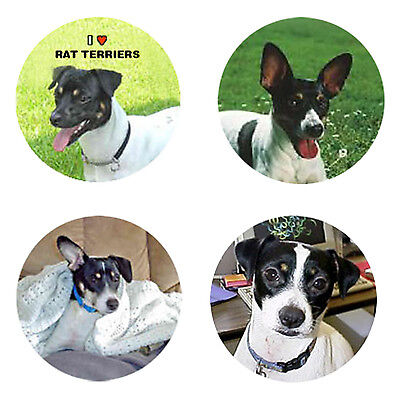 Rat Terrier Magnets : 4 Rat Terriers for your  Collection-A Great Gift