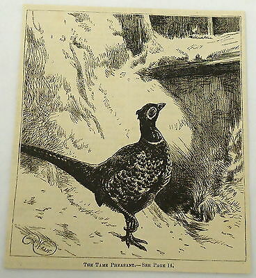 1882 magazine engraving ~ TAME PHEASANT