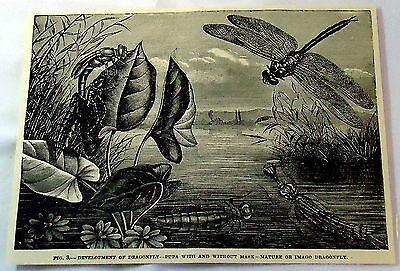 1880 magazine engraving ~ DRAGONFLY, In Various Stages