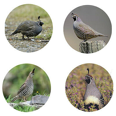 Quail Magnets: 4 Cool Quails for your Fridge or Collection-A Great Gift