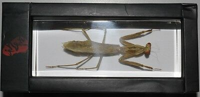PRYING MANTIS Paratenodera Sinensis in Clear Block Insect Specimen