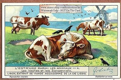 Symbiosis Cattle And Starling Birds 1930s Trade Ad Card