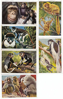 Eight 1932 Primate Wildlife Cards from 1932 Chimpanzee Monkeys +++