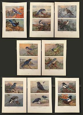 1930s CROWS MAGPIES AND JAYS 8 Pages of Color Plates by Allan Brooks Nat'l. Geo.