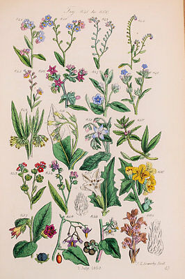 Forget Me Not etc - James Sowerby Antique Botanical Wild Flower Print 1870s -841