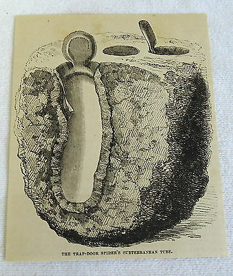 small 1882 magazine engraving ~ TRAP-DOOR SPIDER'S SUBTERRANEAN TUBE