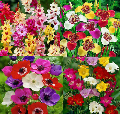 100 Spring & Summer Flower Bulbs The Multi Colour Collection Ready To Ship Fp&p