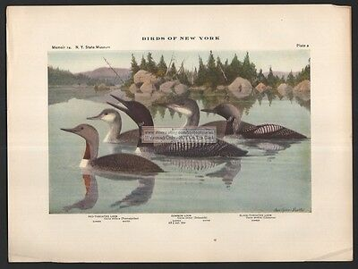 LOONS: Red Throated - Common - Black Throated Bird Print c1914 by L. A. Fuertes