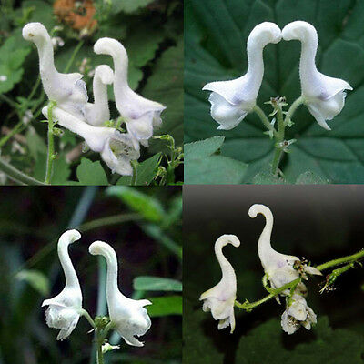 100pcs Rare Swan Flowers Seeds Characteristics Flower seeds White Flowers Decor