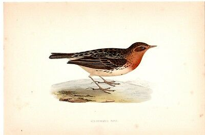 Red Throated Pipit Vintage Bird Color Antique Art Print