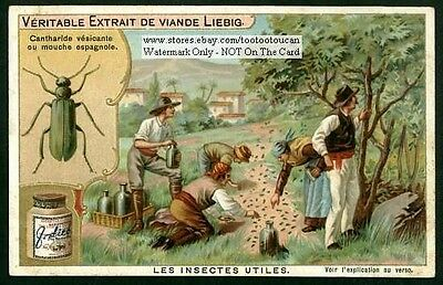 Sex Impotency Cantharide Insect Spanish Fly 1903 Trade Ad Card