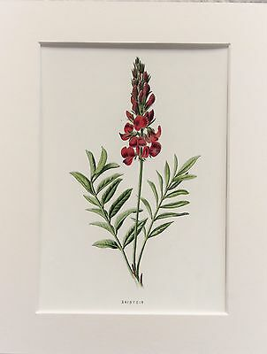Pink Sainfoin - Mounted Antique Botanical Wild Flower Print 1880s by Hulme