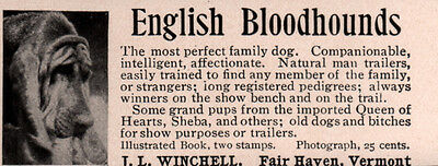 Early Ad English Bloodhound Winchell Fairhaven Vt Kennel  Queen Of Hearts Sheba