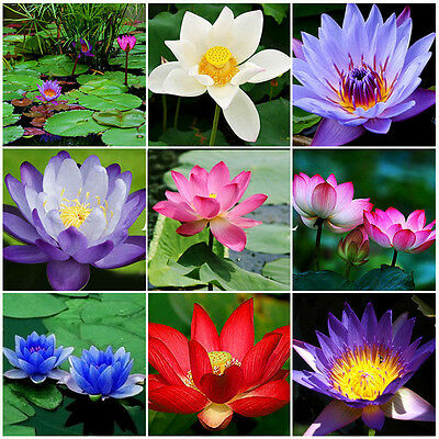 10Pc Bonsai Lotus Water Lily Flower Bowl Pond Fresh Seeds Perfume Blue Lotus Hot