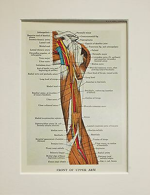 1930s Vintage Anatomy Print - Anatomical - Mounted - Arm, Muscles, Arteries (21)