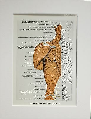 1930s Vintage Anatomy Print - Anatomical - Colour - Mounted - Back Muscles (12)