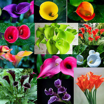 Lots 200PCS Colorful Bonsai Calla Lily Flower Seeds Home Garden Decor Plant Seed
