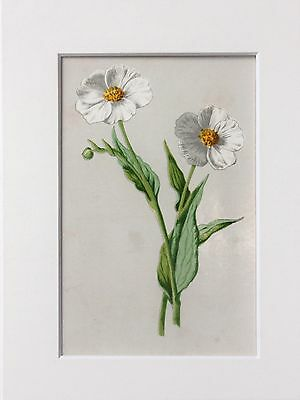 White Snowy Crowfoot. - Mounted Antique Botanical Flower Print 1880s by Hulme