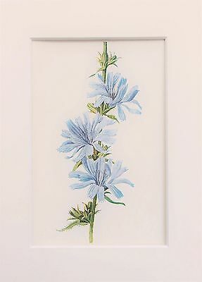 Blue Succory - Mounted Antique Botanical Flower Print Lithograph by Hulme