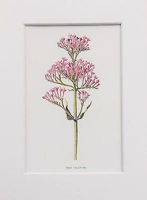 Red Valerian - Mounted Antique Botanical Flower Print Lithograph by Hulme