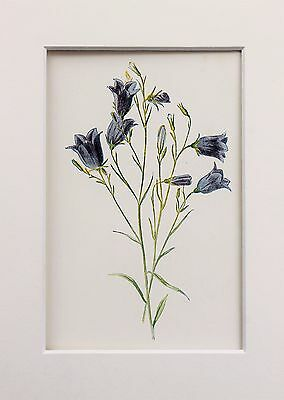 Blue Harebell - Mounted Antique Botanical Flower Print Lithograph Hulme
