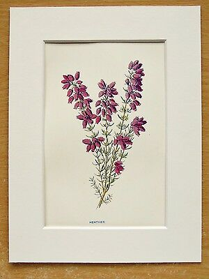 Heather -  Mounted Antique Botanical Flower Print Lithograph Hulme