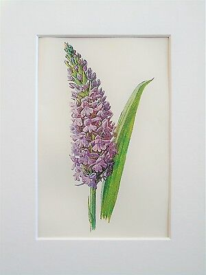 Purple Fragrant Orchid - Mounted Antique Botanical Flower Print Lithograph Hulme