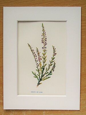 Heath Heather Ling - Mounted Antique Botanical Flower Print Lithograph Hulme