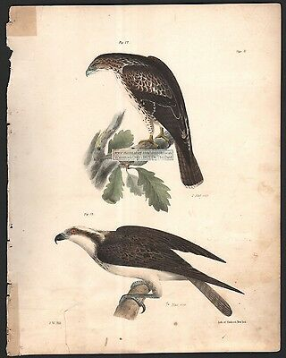 Red Tailed Buzzard and Fish Hawk Raptor Bird Original 1845 DeKay H/C  Print