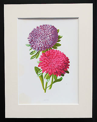 Pink & Purple Asters - Mounted Antique Botanical Flower Print 1880s by Hulme