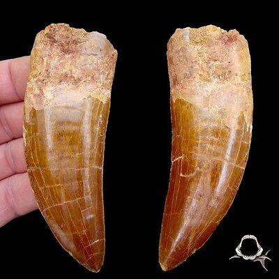 MONSTER - 4 & 5/8 in. African T-Rex * Carcharodontosaurus * - Dinosaur Tooth
