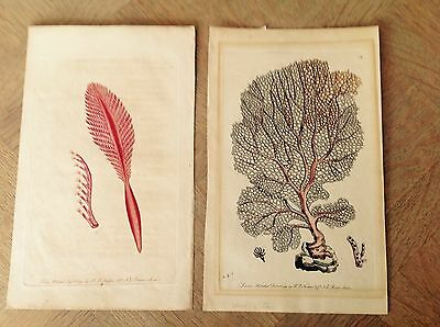 PAIR NATURAL HISTORY ANTIQUE VICTORIAN COLOURED ETCHINGS of SEAWEED