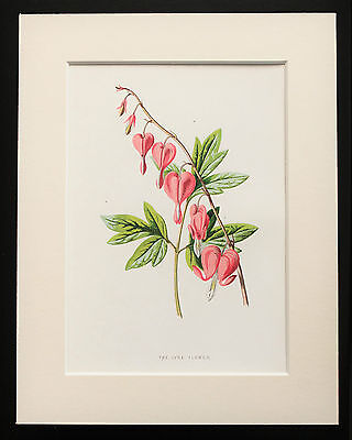 Pink Lyre Flower - Mounted Antique Botanical Flower Print 1880s by Hulme