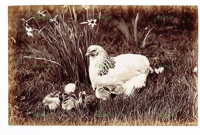 "Old Scottish Albumen Photo "" Chicken & Young "" Charles Reid Wishaw Antique C1890"