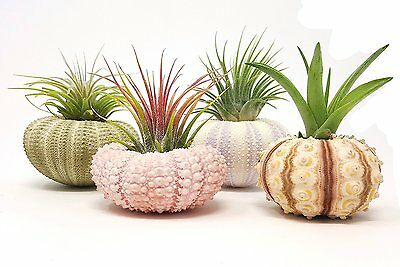 4 Pcs Sea Urchin Air Plant Lot / Kit Includes 4 Live Plants and 4 Sea Shells /