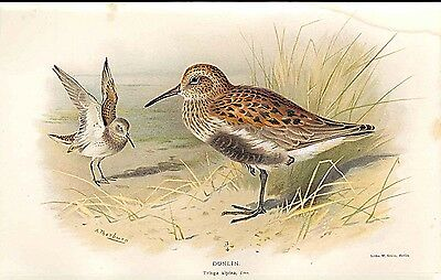 Old Antique Print Dunlin Lilfords Birds 1885-97 By A Thorburn 359011